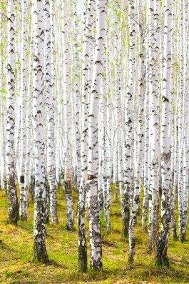תמונה לסלון עצים לבנים על דשא ירוק