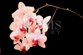 תמונה לסלון פרחים בצבע אפרסק על רקע שחור