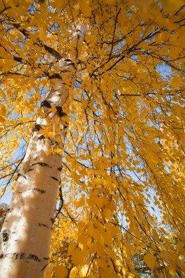 תמונה לסלון מבט מלמטה על עץ צהוב