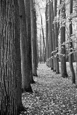 תמונות לסלון עצים בשחור לבן