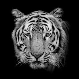 תמונות סלון נמר שחור לבן